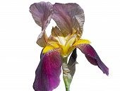 stock photo of purple iris  - big beautiful flower of Purple Iris on white background - JPG