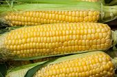 foto of maize  - Corn or maize is on sale at the Bazaar - JPG