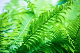stock photo of fern  - Exotic fern. Shrubs bright green fern as a background. Shallow depth of field. Selective focus. ** Note: Shallow depth of field - JPG