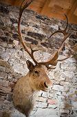 stock photo of buck teeth  - Head of a Deer hanging on a Wall - JPG