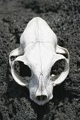 picture of scoria  - an animal skull bleached by the sun on rangitoto island hauraki gulf new zealand - JPG