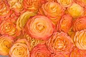 foto of yellow rose  - orange roses under bright sunlight - JPG