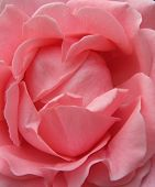 image of pink rose  - framefilling closeup of lovely pink rose - JPG