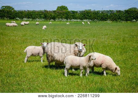Sheep with lambs grazing on