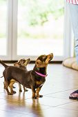 Little Dogs Dachshund And Pinscher Ratter Prazsky Krysarik Crossbreed Chilling On Sofa Indoor Relaxi poster