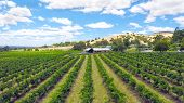 Drone Aerial Of The Barossa Valley, Major Wine Growing Region Of South Australia, Views Of Rows Of G poster