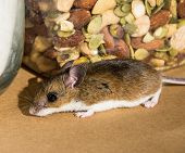 Side View Of A Wild Brown House Mouse, Mus Musculus, Sniffling Around In Front Of A Canister Of Mixe poster