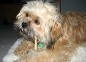 picture of toy dog  - Fluffy mixed breed puppy chewing on rawhide on oversized pillow - JPG
