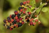 Wild Blackberry Bramble fruit