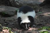 Wild Black And White Skunk In The Woods. poster
