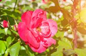 Rose Flower, Closeup Of Beautiful Rose Flower In The Summer Garden. Summer Flower Of Red Rose Flower poster