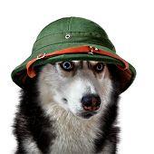 Husky Dog In Tropical Ex-helmet. Siberian Husky In Green Traveler Cork Helmet On White Background Fo poster