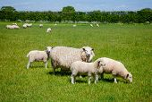 Sheep with lambs grazing on the South Downs hill in rural Sussex, Southern England, UK poster