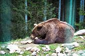 Brown Bear In The Reserve. poster