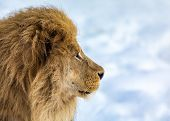 Lion, Panthera Leo, Lion Portrait On Bright, Soft Background, The Lion Is Looking To The Right. Old  poster