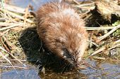 stock photo of muskrat  - Brown muskrat drinking water from a marsh - JPG