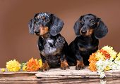 dachshund puppy black  tan color and mother dog poster