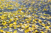 Partly Wet Asphalt Walkway In The Park Covered With Yellow Fallen Poplar Leaves, In Selective Focus, poster