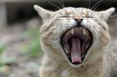 Brown Tabby Domestic Cat Yawning On Blurred Green Yard poster