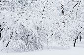 Beautiful Trees Covered In White Snow. Winter Park. Snow Covers The Forest. A Lot Of Fluffy Snow. Ba poster