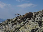 Close Up Cute Male Reindeer Profile View, Going Down From Mountain Top. Animal In Wild In Natural En poster