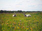 Goats Grazing In The Field. Summer, Green Grass, Blue Sky. Idyllic Rural Landscape poster