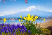 Mt Diamond Fuji With Snow And Flower Garden Along The Lake Walkway At Kawaguchiko Lake In Japan, Mt  poster