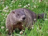 picture of groundhog  - Close-up of a groundhog showing it profile