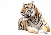 stock photo of tigress  - Tiger sit with isolated on white background - JPG