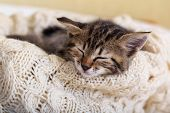 Brown Striped Kitty Sleeps On Knitted Woolen Beige Plaid. Little Cute Fluffy Cat. Cozy Home. poster