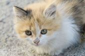 A Little Fluffy Kitten Sits On The Ground And Looks At The Camera. Newborn Tricolor Kitten - Red, Wh poster