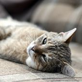 Close Up Of A Sad And Lazy Tabby Cat Napping On The Couch Outdoors In Evening poster