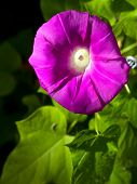 pic of ipomoea  - Beautiful pink flower of Morning glory - JPG