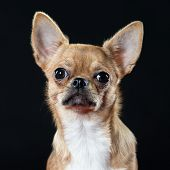 Headshot Of An Alert Chihuahua