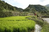 stock photo of ifugao  - green rice plants growing in the terraces of banaue northern luzon in the philippines - JPG