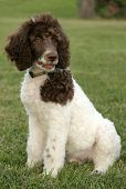 stock photo of poodle  - Standard parti poodle puppy - JPG