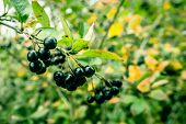 stock photo of aronia  - Aronia Melanocarpa hanging on a branch in nature - JPG