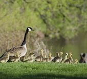 Goose And Goslings In The Grass