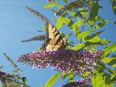 stock photo of butterfly-bush  - Yellow swallow tail Butterfly feeding on butterfly bush - JPG