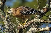 pic of hawk  - Red-shoulder Hawk with snake in the Florida Everglades