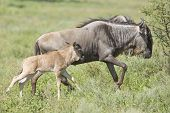 foto of wildebeest  - Wildebeest with new born calf in Tanzania
