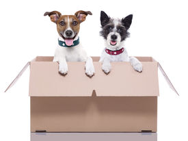pic of jack-in-the-box  - two mail dogs in a brown moving box - JPG