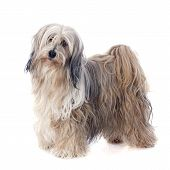 picture of tibetan  - Tibetan terrier in front of white background - JPG