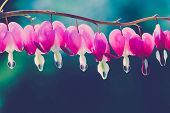pic of broken heart flower  - Bleeding heart flowers against blue green background - JPG
