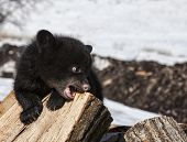 picture of firewood  - American black bear cub, chewing or teething on a piece of firewood.  Springtime in Wisconsin.