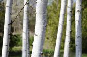 stock photo of birchwood  - Photo of the Birchwood Over Natural Background - JPG