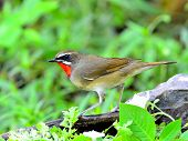 Male Of Siberian Rubythroat (luscinia Sibilans) A Bird With Red Throat On Side Profile