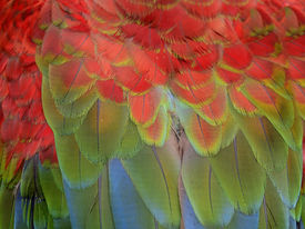 stock photo of green-winged macaw  - Feather of macaw green - JPG