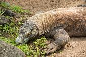 picture of monitor lizard  - The big monitor lizard lying on sand in natural park - JPG