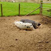 picture of pig  - Pair of pigs sleeping in a pig pen - JPG